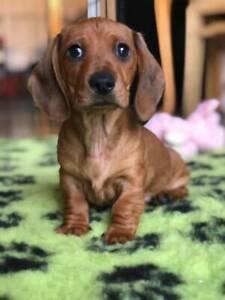 Dachshund Puppy (Female)