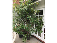 Large photinia red robin x3 + various others shrubs