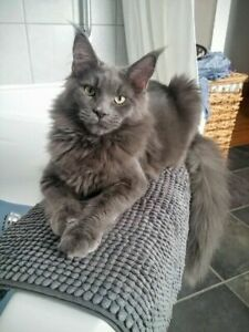 Maine Coon Breeder | Kijiji in Ontario  - Buy, Sell & Save