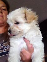 havanese puppys ( only one left)