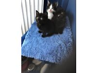 Beautiful litter of Persian x kittens