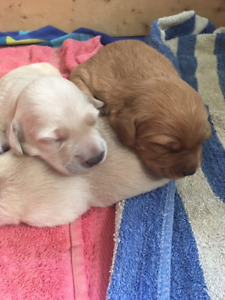 Adopt Dogs & Puppies Locally in Cowichan Valley / Duncan