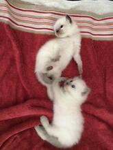 Purebred Ragdoll Kittens for sale Chermside Brisbane North East Preview
