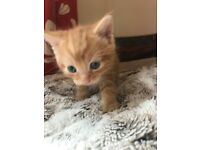 2 ginger male kittens for sale, ready to go