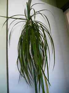 Large House Plants