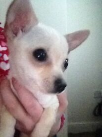 4 month old very small chihuahua