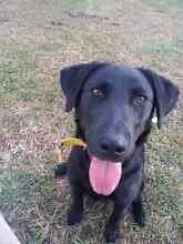 1y/o Labrador X to good home only Singleton Heights Singleton Area Preview