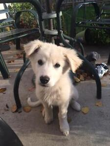 "Baby Female Dog - Retriever-Collie: ""Eva-pending"""