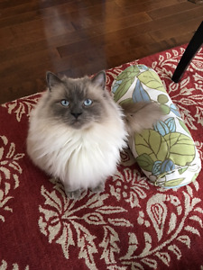 Blue point ragdoll male cat free