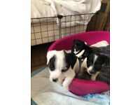 3 puppies Chihuahua x Jack Russell