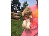 Stunning pure Lionhead rabbit for sale