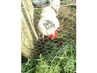 PRURE BRED LIGHT SUSSEX ROOSTER - FREE