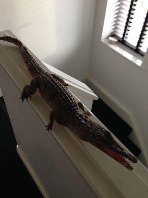 taxidermy antique crocodile stuffed crocodile amazing