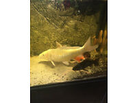 For sale 2 very large Koi, , 3 very large Plecos, 1 large Bircher