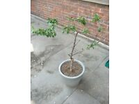 Cherry tree plant in metal pot