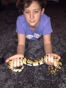 1 year six month old Ball Python with ALL accessories inc. tank.