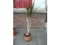 Dracaena Marginata plant .