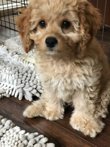 COCKAPOO and POODLE PUPS