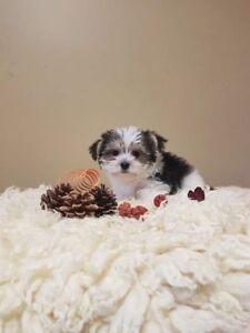 Teddybear Morkie Puppies