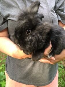 "Adult Female Rabbit - Lionhead: ""Abby"""
