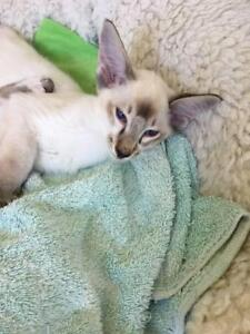 Gorgeous, loving, purebred Balinese and Siamese kittens