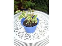 WEIGELA PINK WITH VARIGATED LEAVES GARDEN PLANT