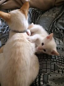 Extremely rare Red-Point Siamese kitten for sale
