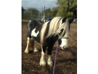 3 year old unbroken flashy gelding, loads of potential and very smart.