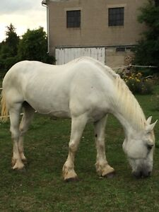 Beautiful White Percheron