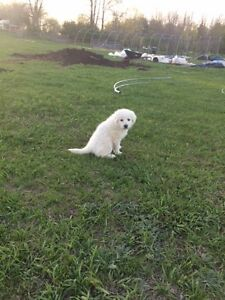 Only 4 Maremma Puppies Left!!