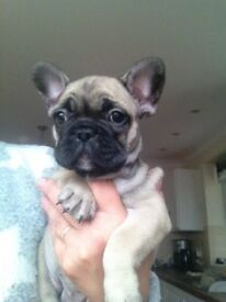 KC Blue Fawn French Bulldog pup