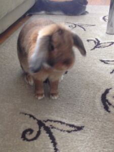 Female Lop rabbit FREE to a Good Home.(No Emails Please)