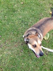 missing dog! anybody see lost dog near coulfield south? Caulfield South Glen Eira Area Preview