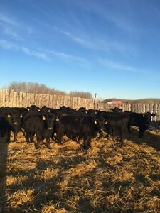20 Bred Black Angus Commercial Heifers