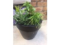 Plants Herb garden: Rosemary, Bay, Mint & Garlic Chives in black terracotta pot. Collect Fulham