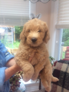 Mini Double doodle/Multi generation Australian Mini Labradoodle