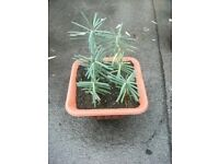 Plant for sale . Euphorbia Lathyris