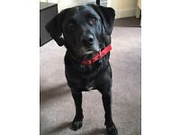 Beautiful, smart & bouncy black lab cross looking for a new home.