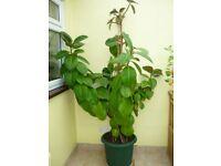 Rubber Plant Height 61/2 feet widh 41/2 feet