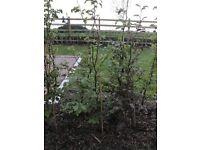 Beech (Fagus sylvatica) £3 each, 70 plants in total