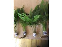 Beautiful Live Aquatic Plants (bunched) / Aquarium Plants / Fish tank plants for sale
