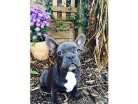 Blue French Bulldog boy
