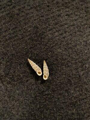 2 Alopia canescens haueri Bielz 13 mm & 14 mm Romania
