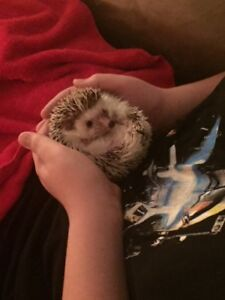 16 Month Old African Pygmy Hedgehog