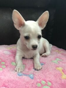 Chihuahua Puppies Ready for Forever Homes