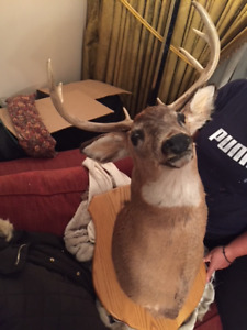 White Tail Deer Head Mount Taxidermy
