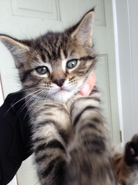 Maine Coon Cross Kittens In Kingstanding West Midlands Gumtree