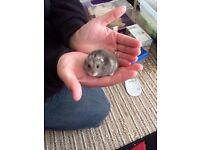Russian Dwarf Hamsters