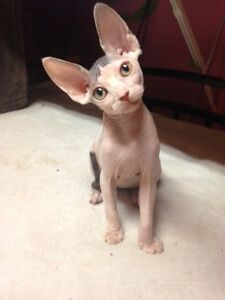 Sphynx kitten, 14 weeks old