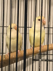 LOVEBIRDS - breeding pair and 4 young